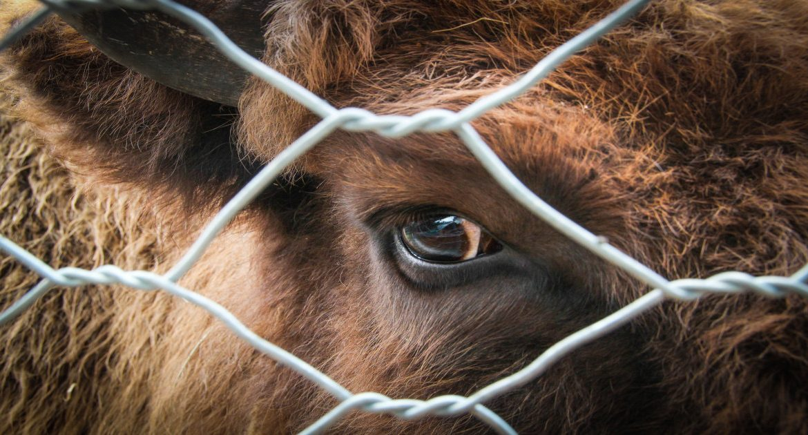 Animal Welfare | Non Stun Slaughter Report