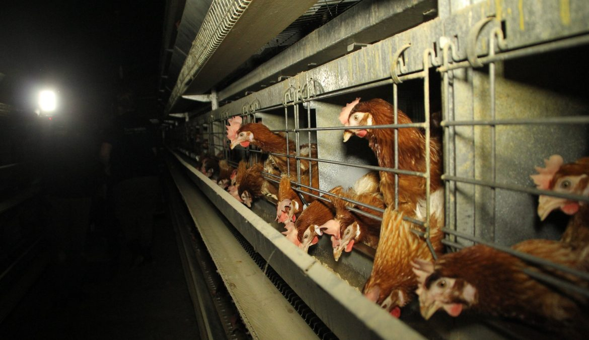 Most UK supermarkets have made a commitment to end the sale of caged hen eggs by 2025